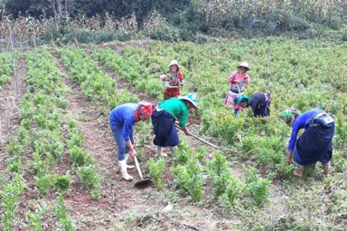 Bà con THT Hậu Cấu đang chăm sóc vùng trồng thử nghiệm cây dược liệu