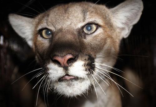 Báo sư tử được nhìn thấy tại thành phố Simi Valley, nơi xảy ra vụ tấn công. Ảnh: Guardian.