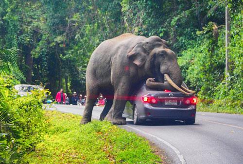 Chiếc xe ô tô bị hư hỏng sau khi được voi dùng làm gối ngủ.