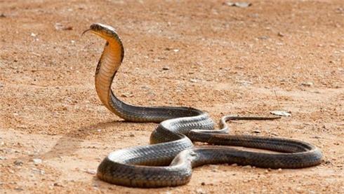 An ninh - Hình sự - Bắt quả tang nam thanh niên vận chuyển rắn hổ mang chúa quý hiếm