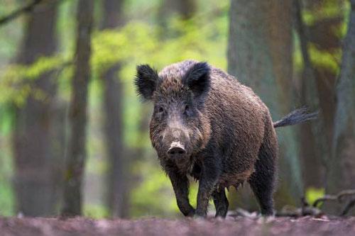 Lợn rừng là biểu tượng của vùng Tuscany, Ý. Ảnh: Getty Images.