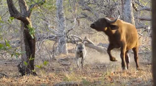 Trong chuyến khám phá khu vực African Dream Horse Safari thuộc công viên quốc gia Kruger, Nam Phi, du khách Ryan Dean Thomson đã bất ngờ được chứng kiến cảnh tượng những con linh cẩu hung dữ truy sát, ăn thịt trâu rừng ngay gần nhà nghỉ của mình.
