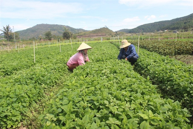 Nhờ chăm sóc đúng kỹ thuật vườn rau xanh tốt của anh Minh mỗi ngày thu về hơn 4 triệu đồng