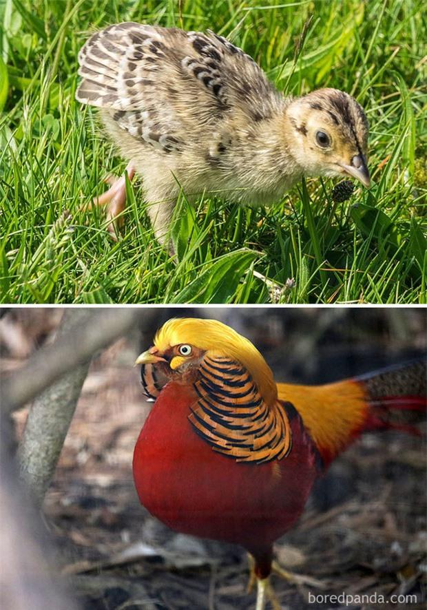 Những loài chim có màn dậy thì thành công nhất mọi thời đại: Lúc bé xâu xấu, lớn lên lại đẹp thấu trời xanh - Ảnh 10.