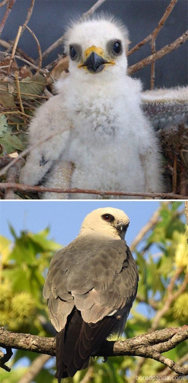 Những loài chim có màn dậy thì thành công nhất mọi thời đại: Lúc bé xâu xấu, lớn lên lại đẹp thấu trời xanh - Ảnh 12.