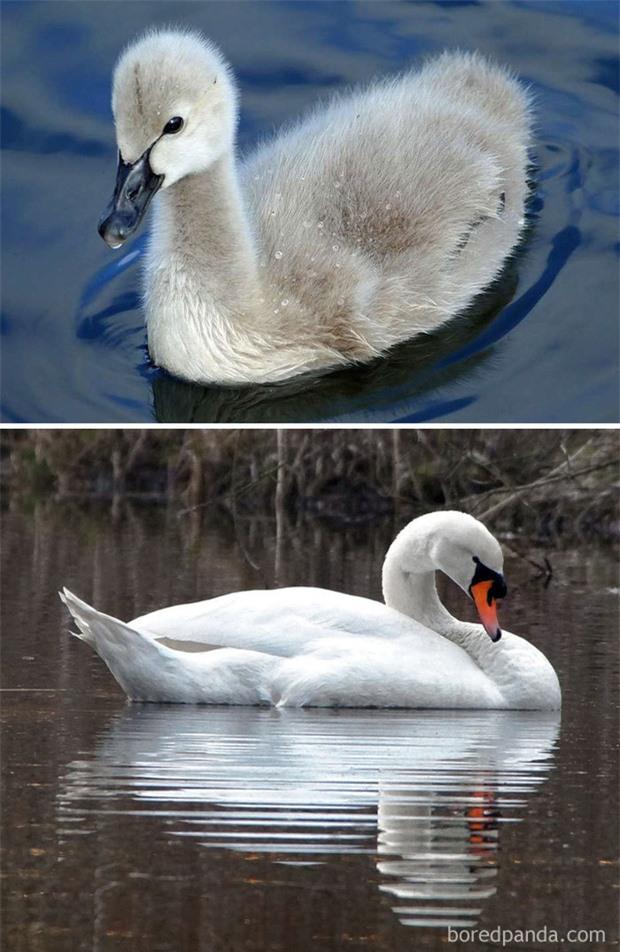 Những loài chim có màn dậy thì thành công nhất mọi thời đại: Lúc bé xâu xấu, lớn lên lại đẹp thấu trời xanh - Ảnh 13.