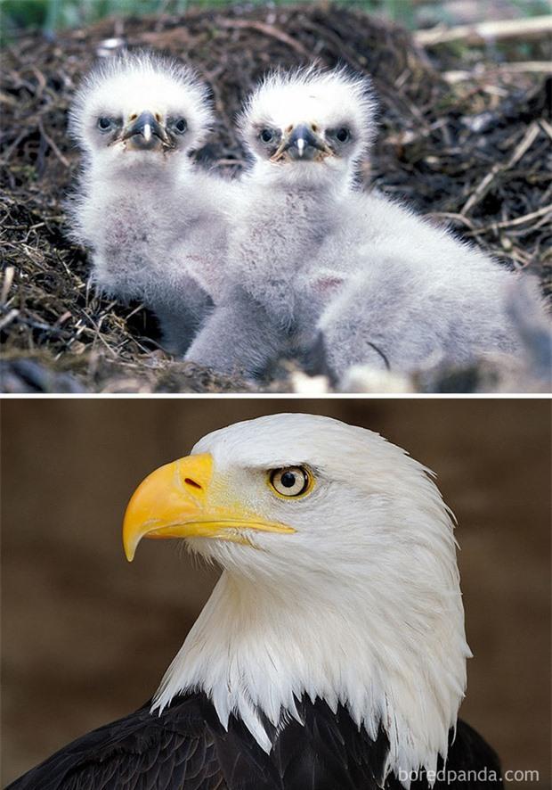 Những loài chim có màn dậy thì thành công nhất mọi thời đại: Lúc bé xâu xấu, lớn lên lại đẹp thấu trời xanh - Ảnh 15.
