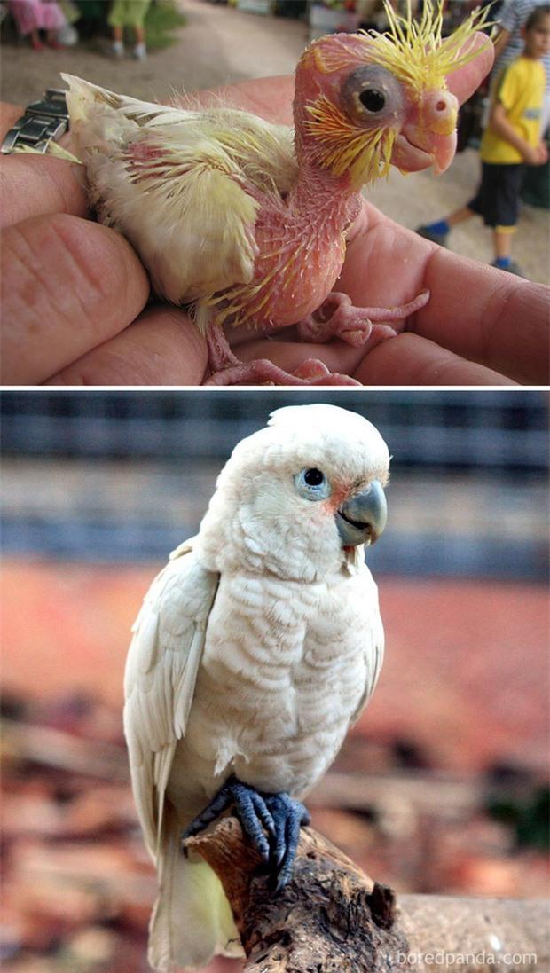 Những loài chim có màn dậy thì thành công nhất mọi thời đại: Lúc bé xâu xấu, lớn lên lại đẹp thấu trời xanh - Ảnh 6.