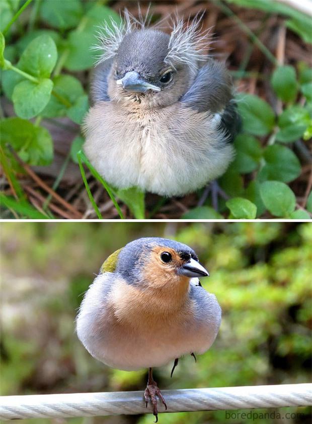 Những loài chim có màn dậy thì thành công nhất mọi thời đại: Lúc bé xâu xấu, lớn lên lại đẹp thấu trời xanh - Ảnh 7.