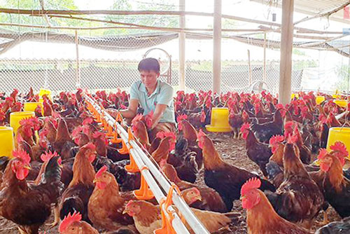 Mô hình nuôi gà mở ra hướng đi mới cho người dân Bình Lư