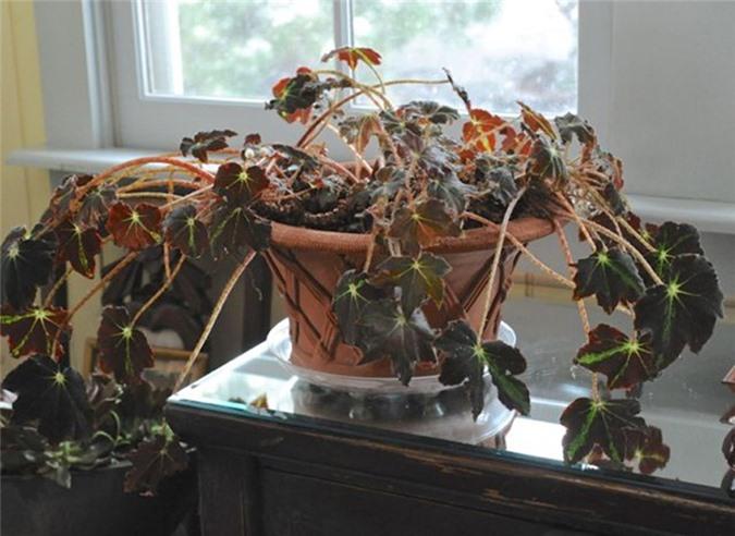Để cây chết trong nhà là một trong những đại kỵ phong thủy.