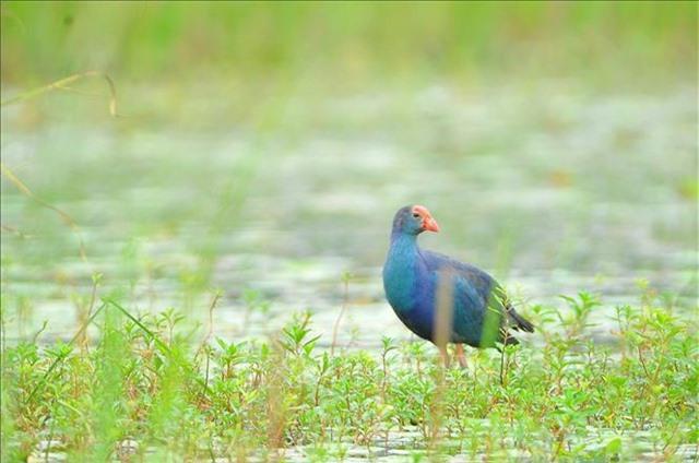 Mùa chim di trú trên đầm Vân Long, Ninh Bình - 4