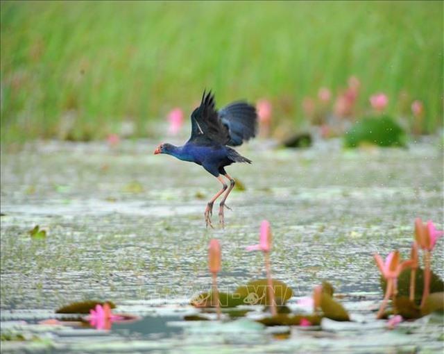 Mùa chim di trú trên đầm Vân Long, Ninh Bình - 5