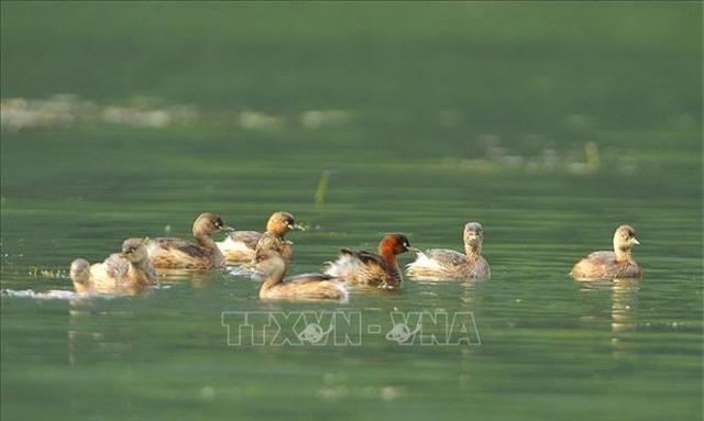 Mùa chim di trú trên đầm Vân Long, Ninh Bình - 7