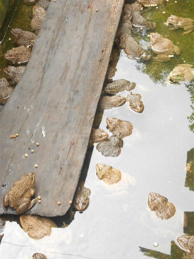 Hiện trang trại ông có hơn 200 cặp ếch bố mẹ (giống Thái Lan) và 10.000 con ba ba (giống Đài Loan) các loại chuẩn bị cho xuất chuồng
