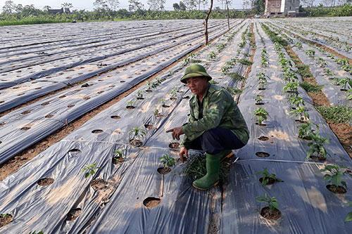 Giống ớt Zopero được trồng bằng phương pháp trồng trên màng phủ nông nghiệp.
