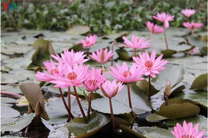 hoa sung chua huong van dep nao long trong gia lanh mua dong hinh 2