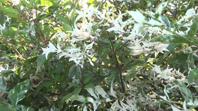Mai Cẩm Thạch - cây cảnh đẹp lạ từ làng hoa Sa Đéc - Ảnh 2.