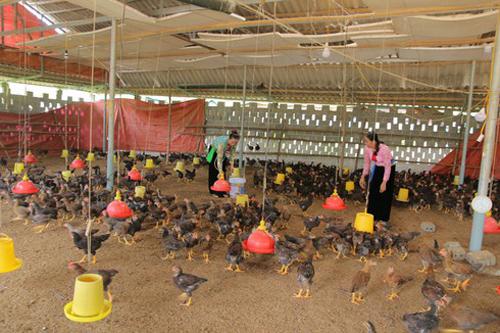 Hợp tác xã gà đồi Hương Nhượng mở rộng diện tích chăn nuôi phát triển thương hiệu gà Lạc Sơn.