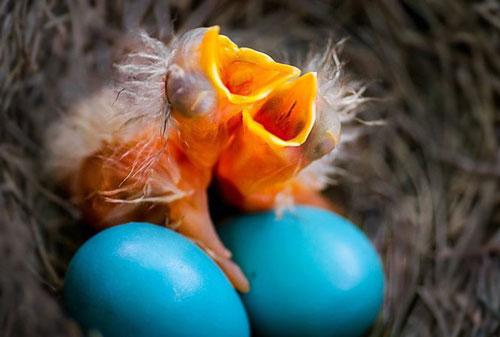 Loài chim đẻ trứng như trứng rồng