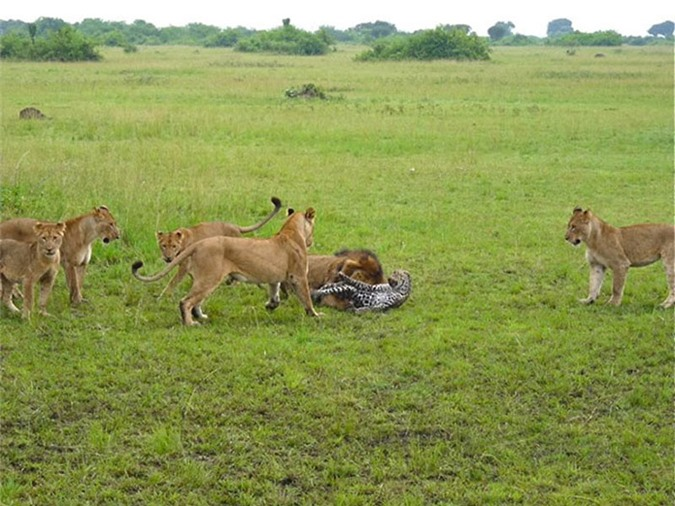 Trong lúc những con sư tử cái đứng bao vây gây áp lực, thì con sư tử đực lại lao lên trước khi tung ra cú cắn trí mạng vào cổ chú báo hoa mai.