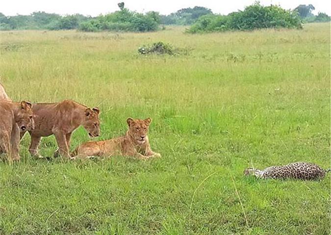 Đáng chú ý, dù dễ dàng giết chết đối thủ, nhưng bầy sư tử không hề ăn thịt chú báo.