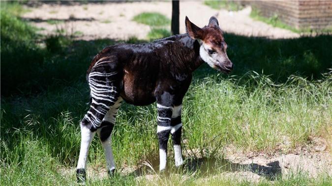 Okapi, loai dong vat ky la buoc ra tu chuyen co tich-Hinh-4