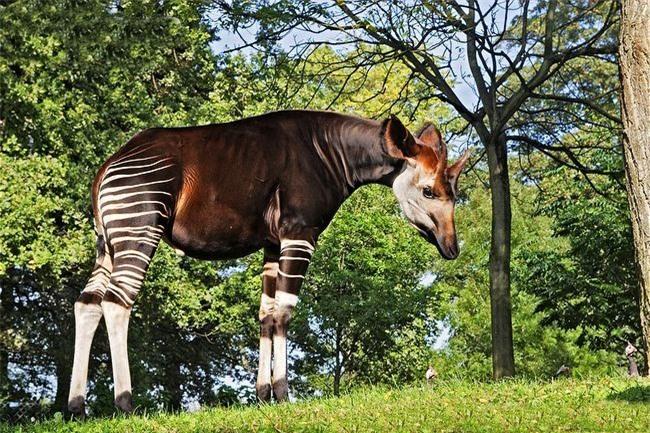Okapi, loai dong vat ky la buoc ra tu chuyen co tich-Hinh-7