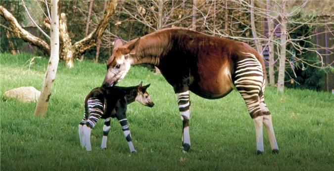 Okapi, loai dong vat ky la buoc ra tu chuyen co tich-Hinh-9