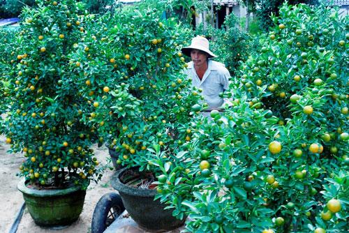 Vườn quất ở Hội An trái đã ươm vàng