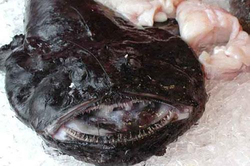 Monkfish là loài cá xấu xí có nhiều cái tên khác nhau như cá thầy tu, cá chày, cá hàm ếch, quỷ biển… Mặc dù hình dạng bên ngoài của chúng có thể khiến nhiều người cảm thấy ghê sợ, nhưng khi được chế biến thành món ăn thì lại có hương vị rất tuyệt vời.