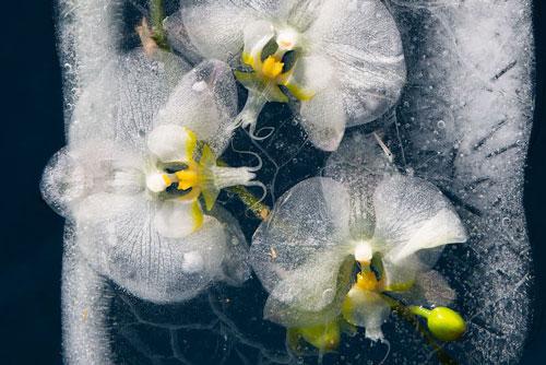 Vẻ đẹp khó tin của những bông hoa bị đông lạnh