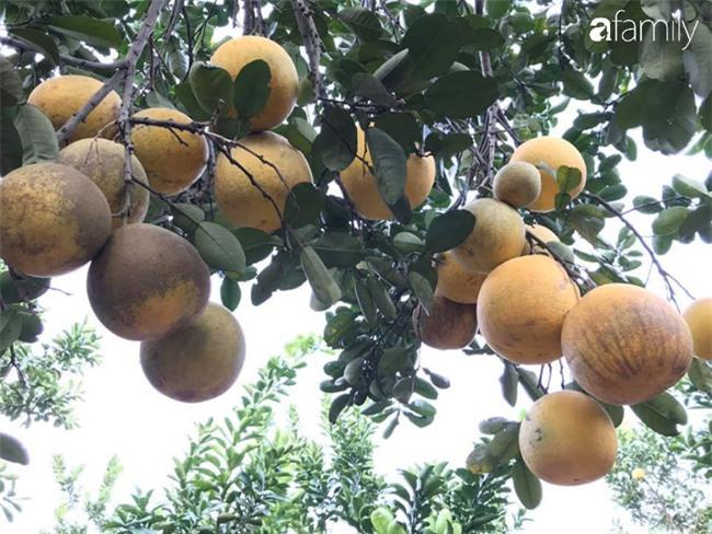 Cùng nghe người bán bưởi Diễn nhiều năm kinh nghiệm mách 6 mẹo nhỏ giúp chọn bưởi ăn Tết 10 quả thơm ngọt như 10 - Ảnh 2.