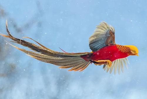 Trĩ vàng được ví với chim phượng hoàng.