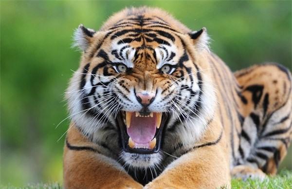 1001 thắc mắc: Hổ - Sư tử, kẻ nào thực sự là chúa sơn lâm? - ảnh 1