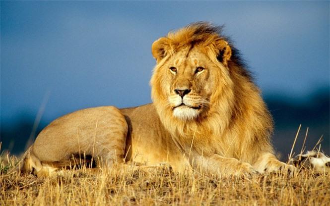 1001 thắc mắc: Hổ - Sư tử, kẻ nào thực sự là chúa sơn lâm? - ảnh 2