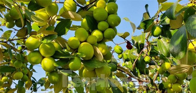 Kỳ lạ: Loại táo giống nho như đúc ở Hải Phòng - ảnh 1