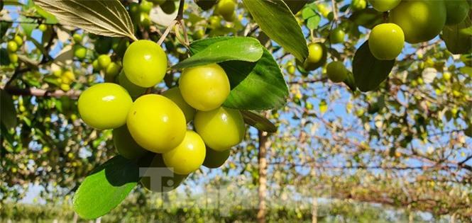 Kỳ lạ: Loại táo giống nho như đúc ở Hải Phòng - ảnh 2