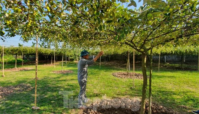 Kỳ lạ: Loại táo giống nho như đúc ở Hải Phòng - ảnh 3