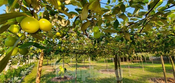 Kỳ lạ: Loại táo giống nho như đúc ở Hải Phòng - ảnh 4