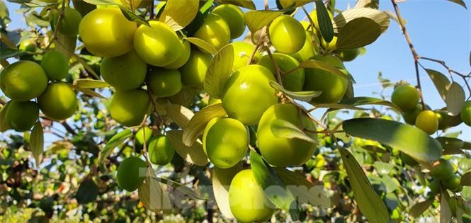Kỳ lạ: Loại táo giống nho như đúc ở Hải Phòng - ảnh 6