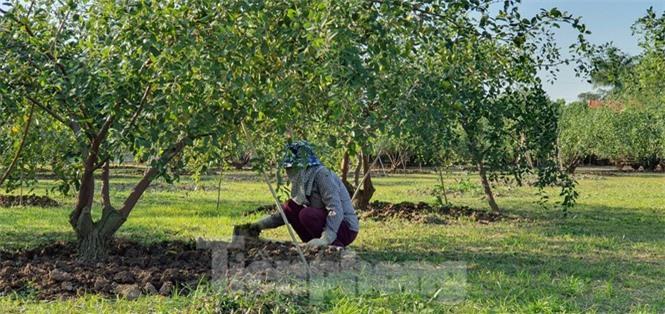 Kỳ lạ: Loại táo giống nho như đúc ở Hải Phòng - ảnh 7