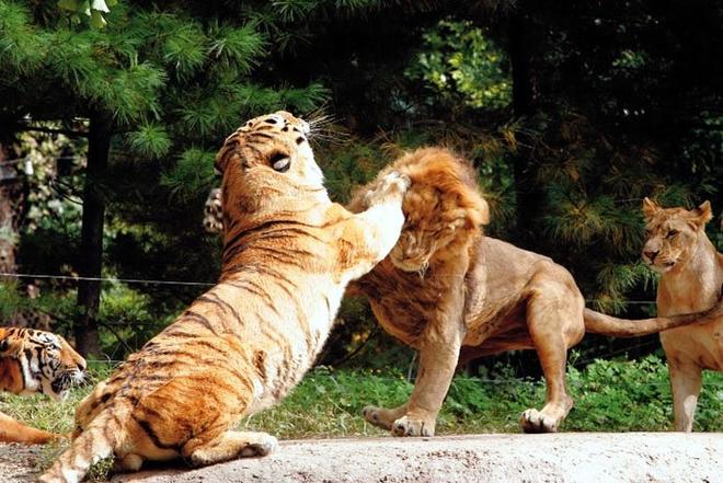 Hổ -Sư tử: Kẻ nào là chúa sơn lâm?