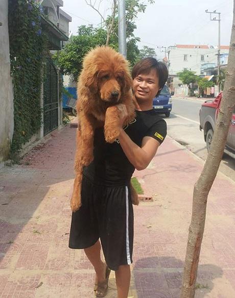 Từ hai bàn tay trắng, sau 4 năm, Kiều Văn Hoàng đã gây dựng được hai mô hình trại chó ngao Tây Tạng tại Quảng Ninh với số lượng lên đến 30 con. Đây là loại chó được coi là đắt nhất hành tinh.