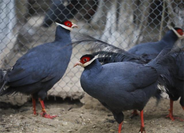 Độc lạ gà lôi tai xanh giá 15 triệu/cặp hút khách dịp tết - 8