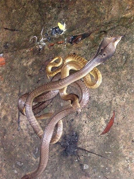 Một số ít người có kinh nghiệm lâu năm sống chung cùng rắn đã chọn cách thả nuôi rắn cực