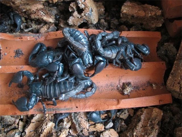 Bọ cạp là loài dễ nuôi, thức ăn không quá tốn chủ yếu là dế, sâu và các loại côn trùng nhỏ. Theo chị Xuân, từ lúc thả con giống đến lúc xuất chuồng chỉ khoảng 6 tháng. Tuy nhiên, việc thiết kế chuồng trại phải đặc biệt chú ý. Trong đó, ban đầu nên nuôi bọ cạp trong các gốc tre, vỏ dừa để tránh ẩm mốc, vào mùa đông cần phải chú ý giữ ấm trong chuồng trại.