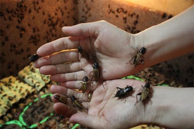 Chị Xuân cho hay nuôi côn trùng không khó nhưng phải nắm rõ được đặc tính của từng loài để có cách chăm sóc, thiết kế chuồng trại cho phù hợp. Trong đó, dế vừa được chị Xuân nuôi làm thức ăn cho bọ cạp, tắc kè vừa làm thương phẩm xuất ra thị trường.