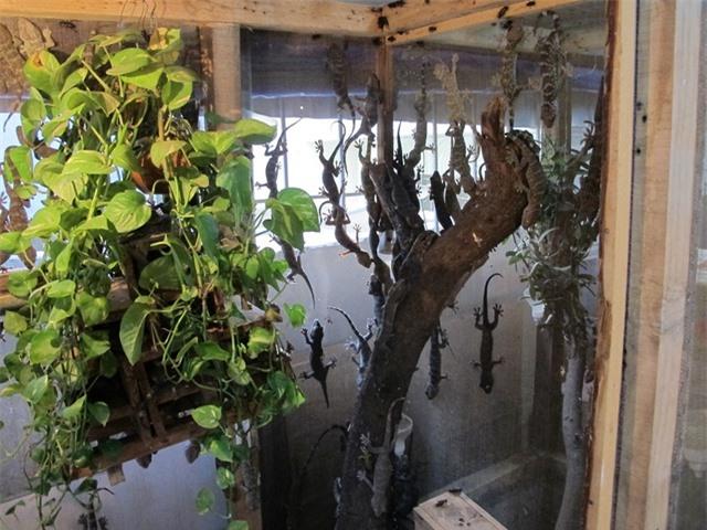 Tắc kè được nuôi trong các lồng chứa các ô gỗ nhỏ, bên trong có các cây xanh để tạo không gian thoáng đãng đồng thời làm nơi trú ẩn.