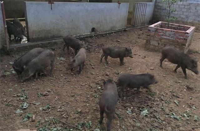 Nhiều người Hà Nội đặt nuôi lợn rừng online ăn Tết